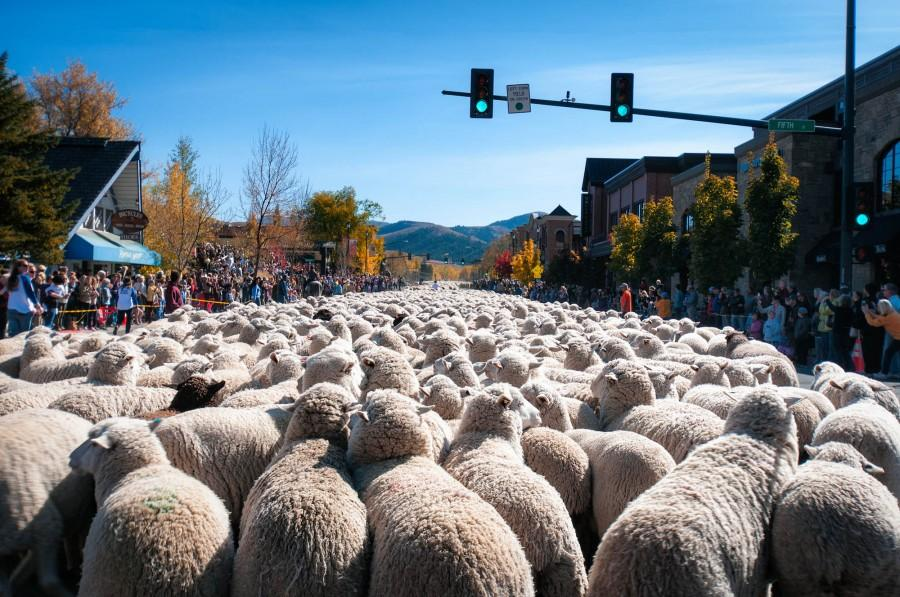 Sheep+are+trailed+down+Main+Street+in+Ketchum+during+the+festival.